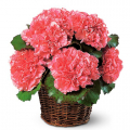 send carnation flowers to manila philippine